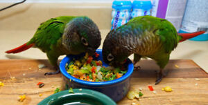 ❤️⭐❤️Friendly⭐Conures with Cage❤️⭐❤️