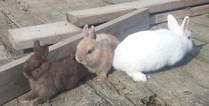 Very cute loin head and dwarf bunnys