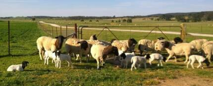 Dorper Ewes with Lambs for Sale Goulburn 2580 Goulburn City Preview