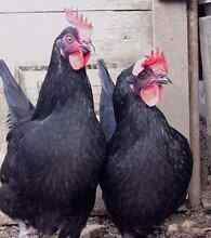 Australorp for sale Thomastown Whittlesea Area Preview