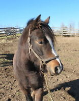 Young Welsh Cob filly Pony, 13/1 hands, registered