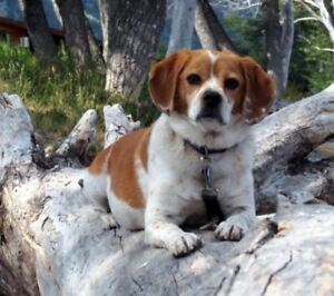 Lost Beagle/Puggle Mix