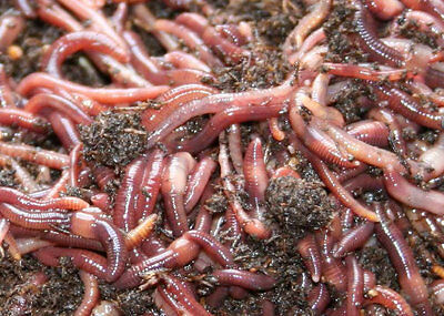 Redworm Wiggler Cocoons Baby Worms Colony Starter Kit & Red Worm Grow Guide