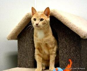 """Young Male Cat - Domestic Short Hair: """"Stitch(Bonded to Jerome)"""""""