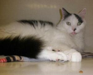 "Adult Male Cat - Domestic Long Hair: ""Fluff Muffin 15 (McCarty)"" London Ontario image 3"