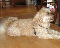 "Adult Male Dog - Shih Tzu-Poodle: ""Chino"""