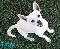 "Adult Male Dog - Chihuahua: ""Tator"""