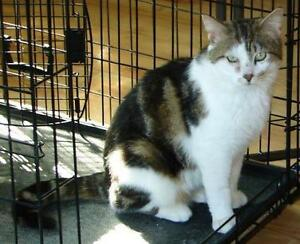"Adult Male Cat - Domestic Short Hair-Tabby: ""Gilmon"""