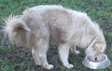 Maremma Sheepdog x Border Collie - rescue Silverdale Wollondilly Area Preview