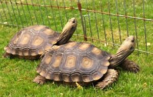 Beautiful Pair of Burmese Brown Mountain Tortoises Available!