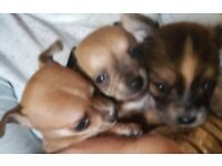 Chihuahua puppies 2 boys 1 girl