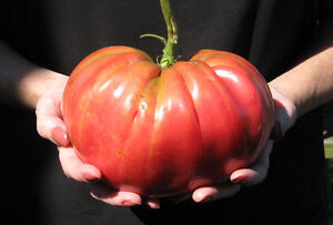 TOMATO 'Brandywine' 10 seeds vegetable garden GIANT FRUITS heirloom