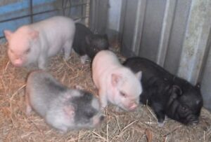 POT-BELLIED PIGLETS!