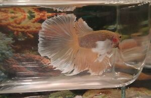 Dumbo Ear/Elephant Ear Betta Fish London Ontario image 8