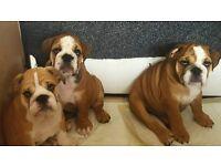 Kc reg bulldog puppies