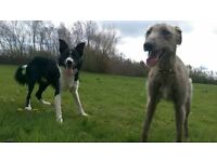 needs new home asap greyhound × deerhound