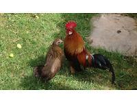 Bantams - Dutch Gold Partridge Rooster/Hen