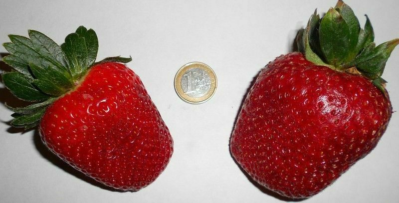 Riesen- Garten- Erdbeeren / Obst Gemüse Bodendecker Exoten Hecken Stauden Gräser