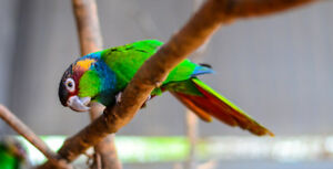 ⭐8 BEBES PERROQUETS  ⭐ (Blue Throated) ❤ TIRIBA BABY PARROT  ❤