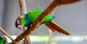 Large Variety of Baby Parrots Available // Bebes Perroquets NAM