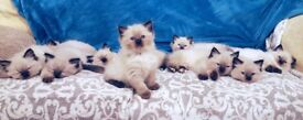Pure Bread Seal Point Ragdoll Kittens For Sale