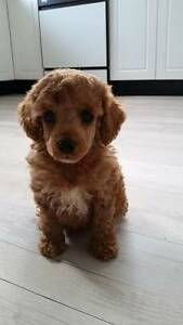 SWAP Red Toy Poodle Male Inverell Inverell Area Preview