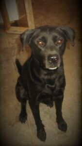 Sweet Lab mix looking for a family! London Ontario image 1