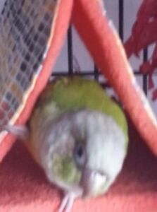 Conure cannelle 200$