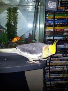 LOST COCKATIEL Batemans Bay Eurobodalla Area Preview