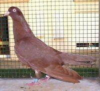 pigeons roller oriental
