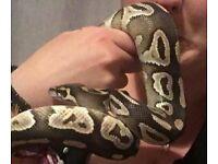 Male ball mojave python