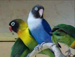 WANTED 3 FEMALE BIRDS Green Black mask and Peach face lutino