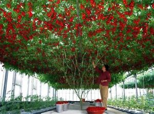 TOMATO 'Giant Tree' seeds *RARE* HUGE vine LONG HARVEST Italian unusual HEIRLOOM