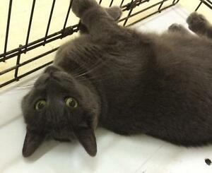 "Adult Female Cat - Domestic Short Hair-gray: ""Tessa"""