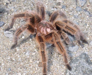 Looking For Mature Male Chilean Tarantula (Grammostola porteri)