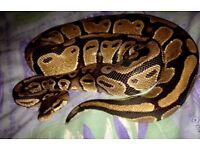 3 year old female pied royal python, housing and heat matt