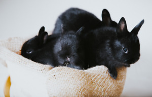 Cute Netherland Dwarf Baby Bunnies - Drop Off AVAILABLE
