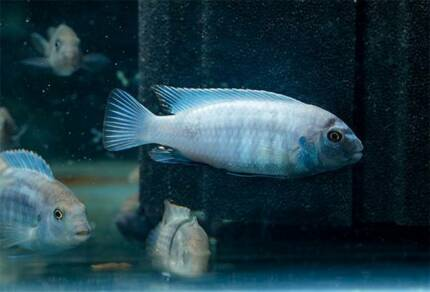 Pseudotropheus polit - african cichlid - young males