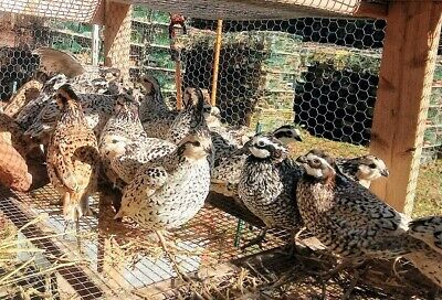 20 Snowflakemexican Speckled Bobwhite Quail Hatching Eggs