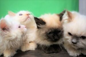 Pure Himalayan kittens. Albino and Seal point 9.5 weeks.
