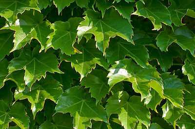 (ivy, BOSTON IVY, climbing vine perennial, 100 seeds! GroCo)