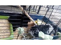 Here I ha e these two loving rabbits for sale unfortunately
