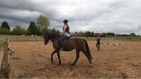 15.2 WBxTB Mare Sale/rehome