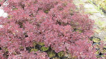 Pruikenboom , Cotinus Royal Purple paars