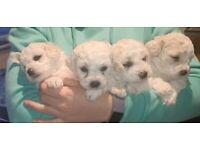 Two male Bichon puppies