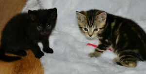 LOOKING FOR TWO BROTHER KITTENS 1 BLACK & 1 OF ANY COLOUR ASAP