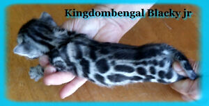 Chaton Bengal TICA Brown, Silver, wow!