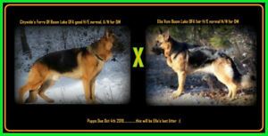 CKC Reg. German Shepherd pups to approved homes