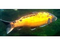 7 KOI CARP MANCHESTER MEDIUM-LARGE CAN SELL INDIVIDUALLY