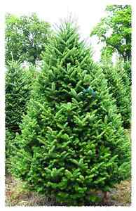 Christmas Tree for SALE Fraser Fir Oakville / Halton Region Toronto (GTA) image 1